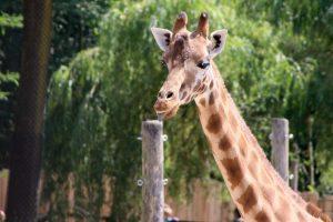 girafe au zoo
